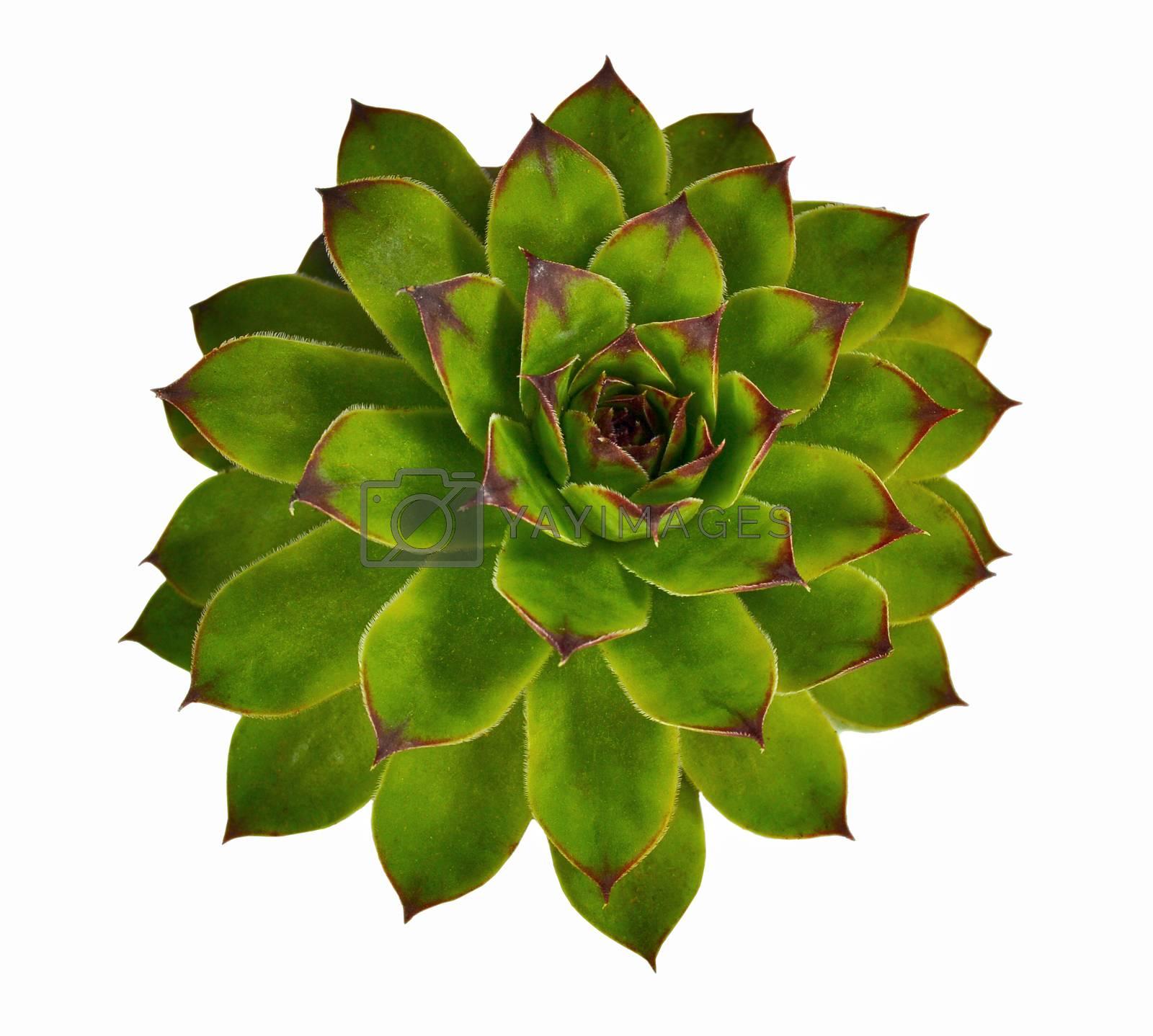 Crassulaceae succulent flower