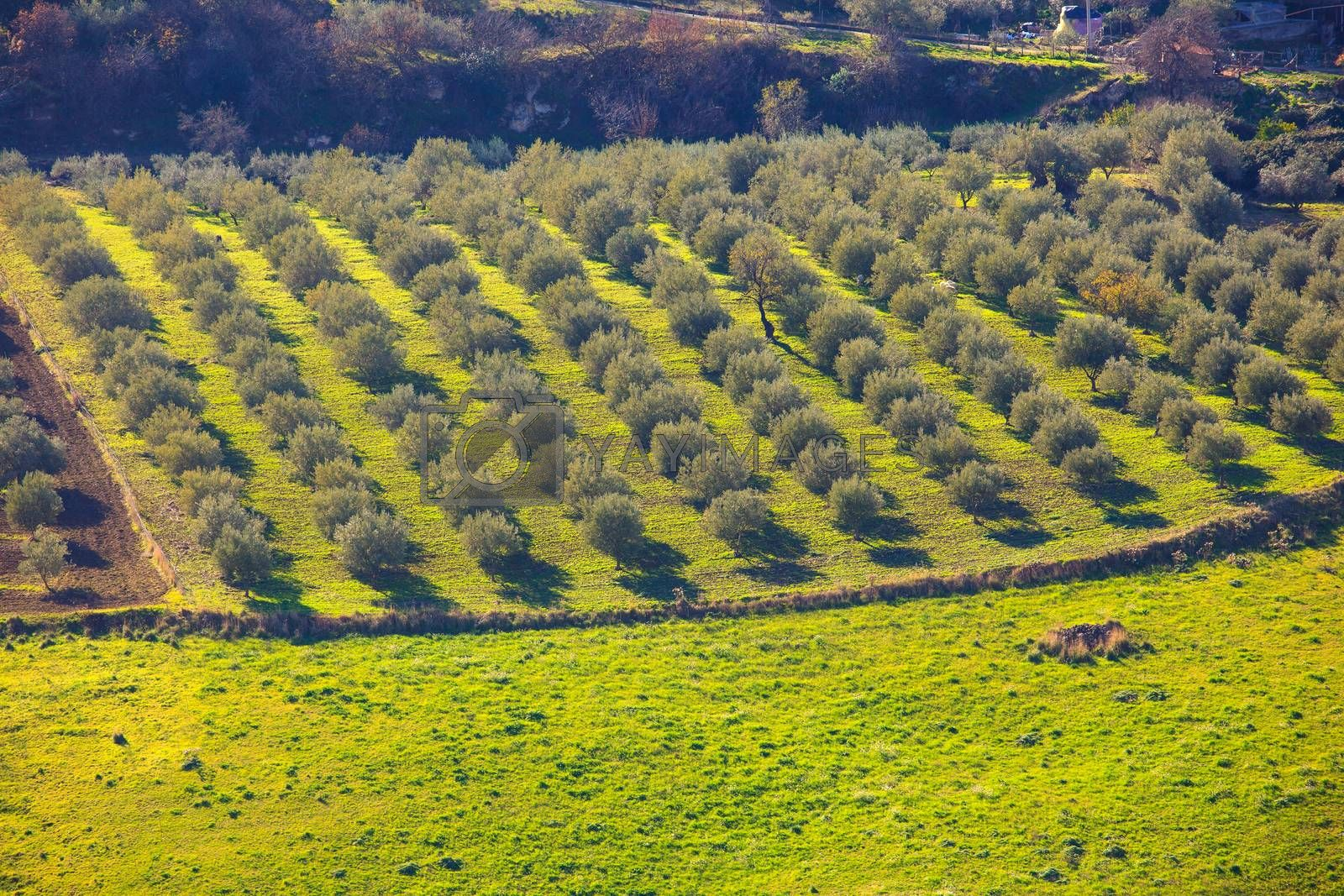 View of olive tree grove in the Leonforte countryside