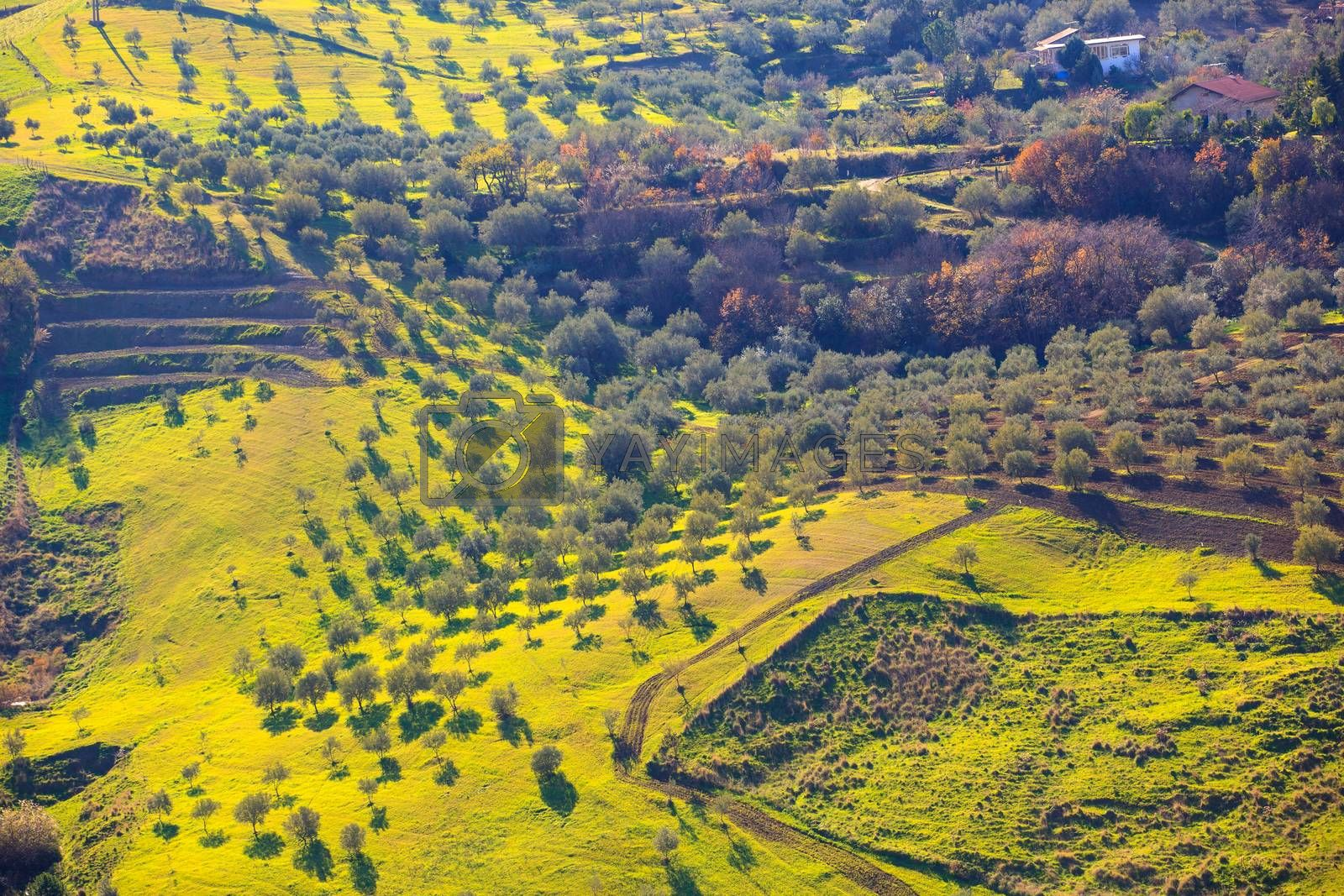 Olive tree grove  by bepsimage