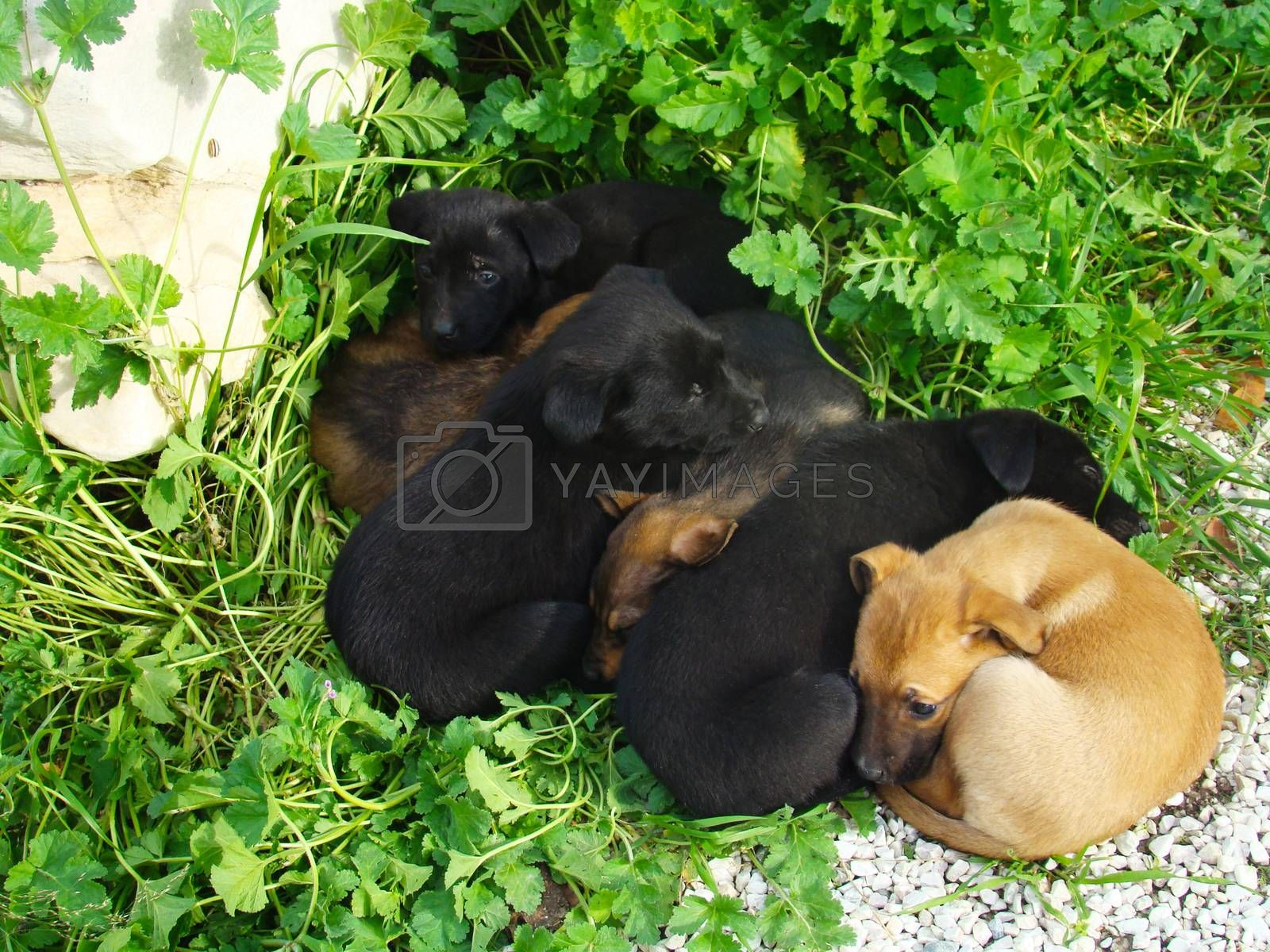 Lot of puppies lying on the grass in the spring sunshine