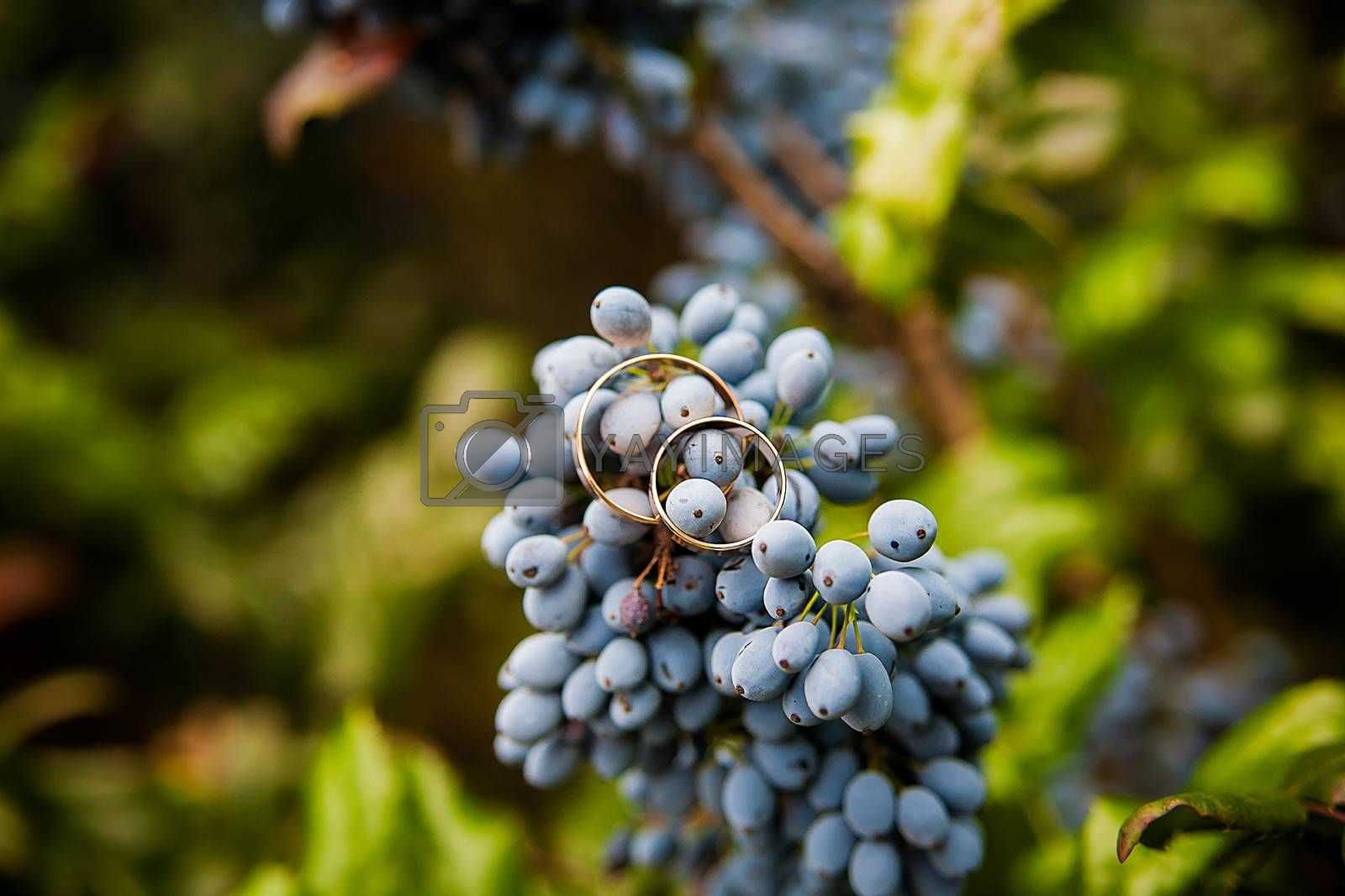 Royalty free image of blue bunch grapes and wedding rings by sfinks