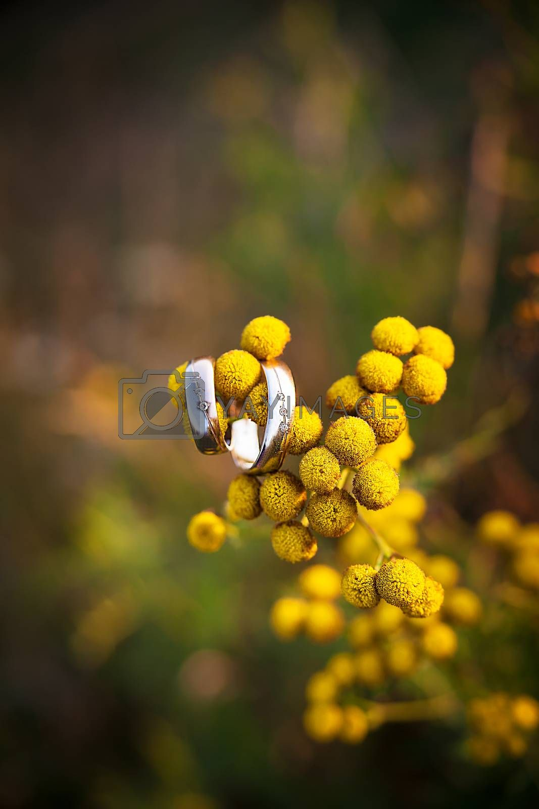 Royalty free image of diamond ring on yellow flower by sfinks