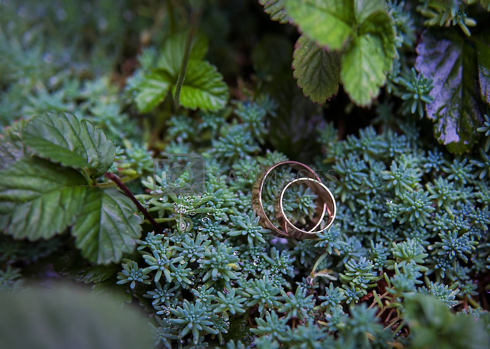 Royalty free image of Green plant and wedding rings by sfinks