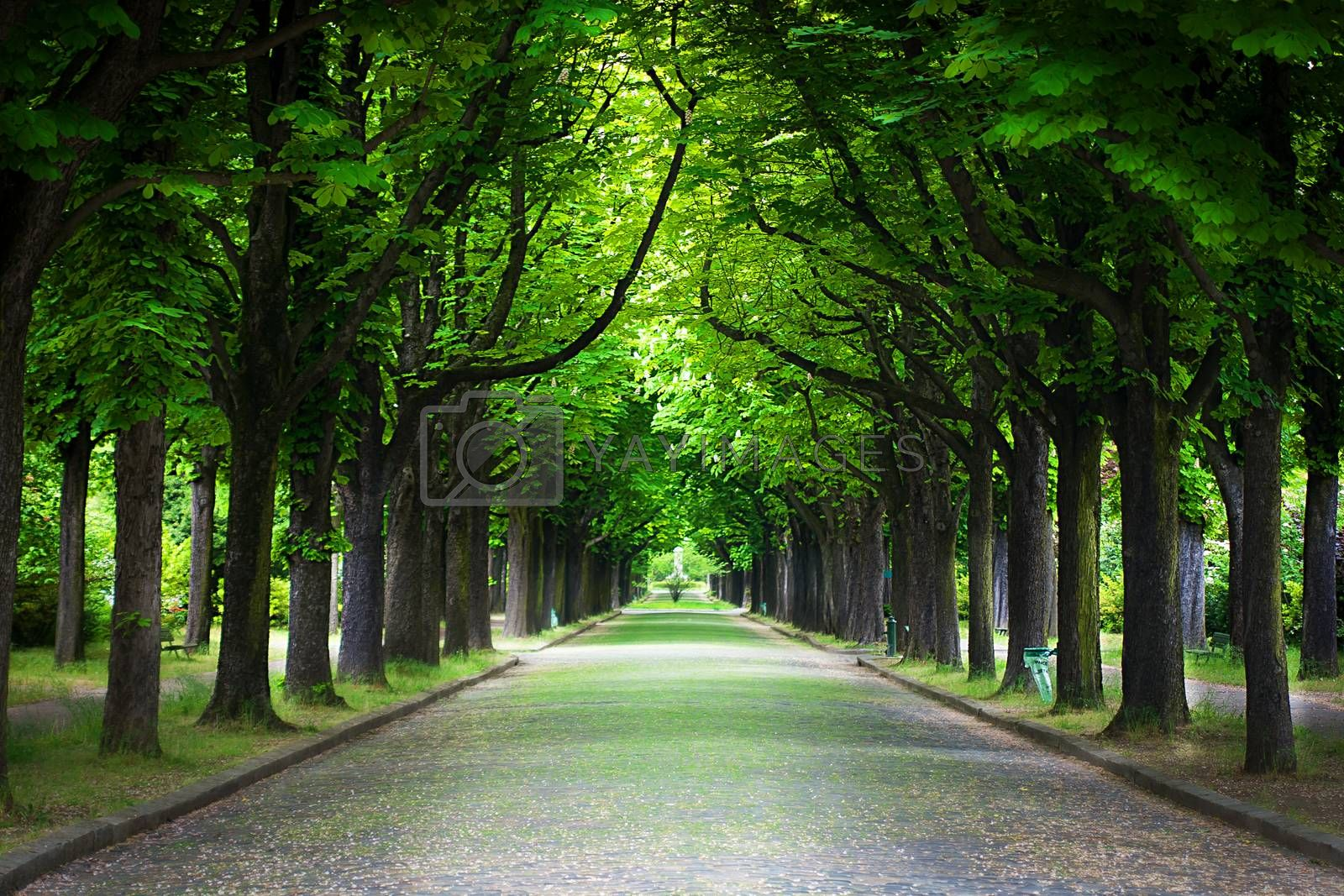 Royalty free image of Country road running through tree alley by sfinks