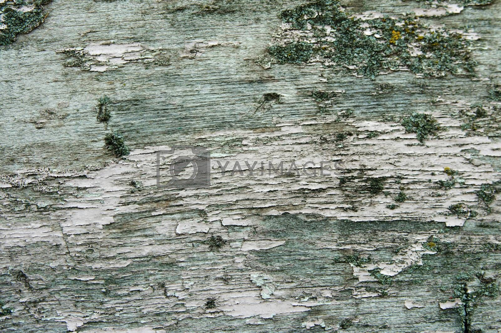 Texture of old green bark wood