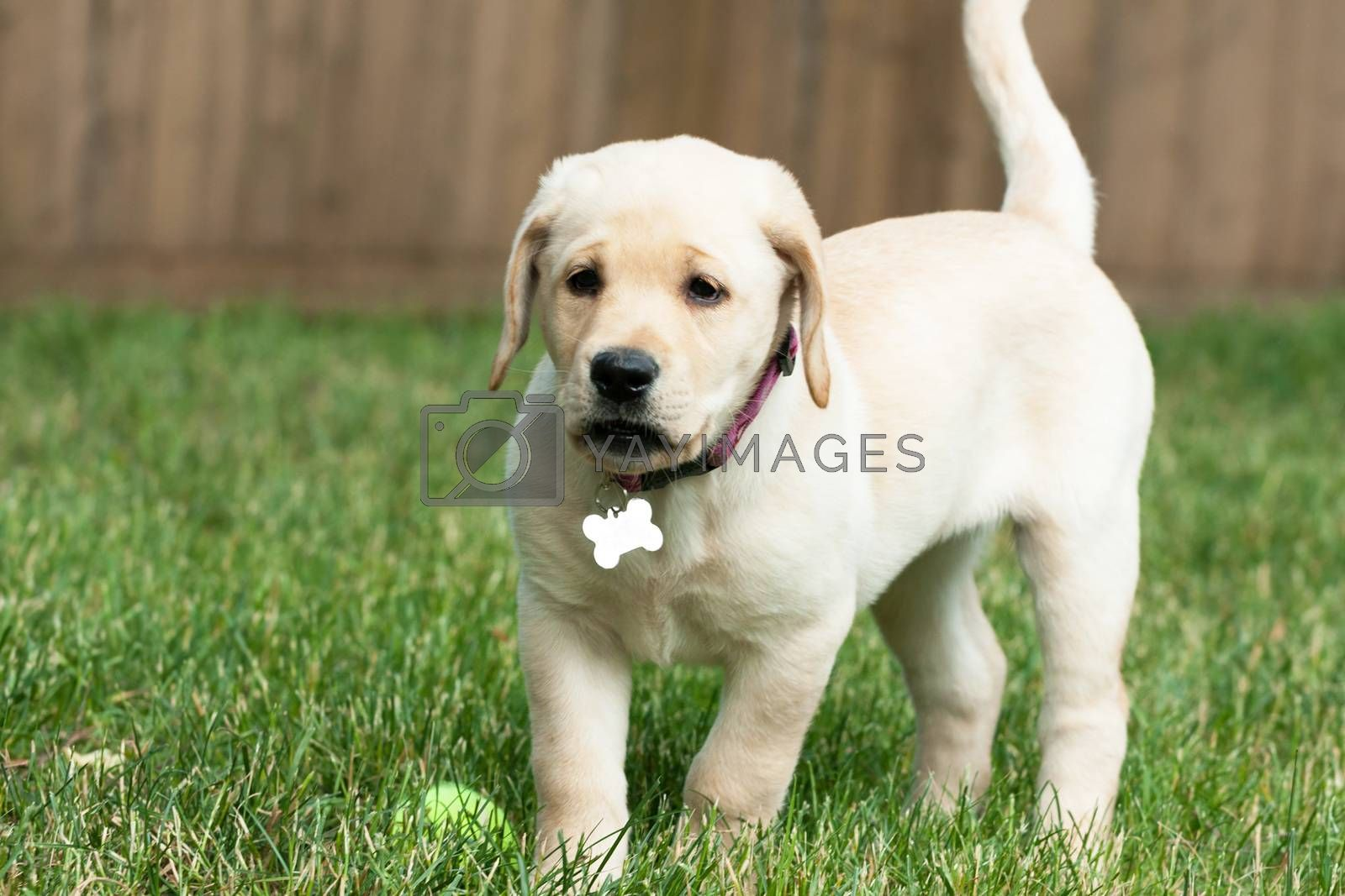 Close up of a cute yellow labrador puppy laying in the grass outdoors. Shallow depth of field.