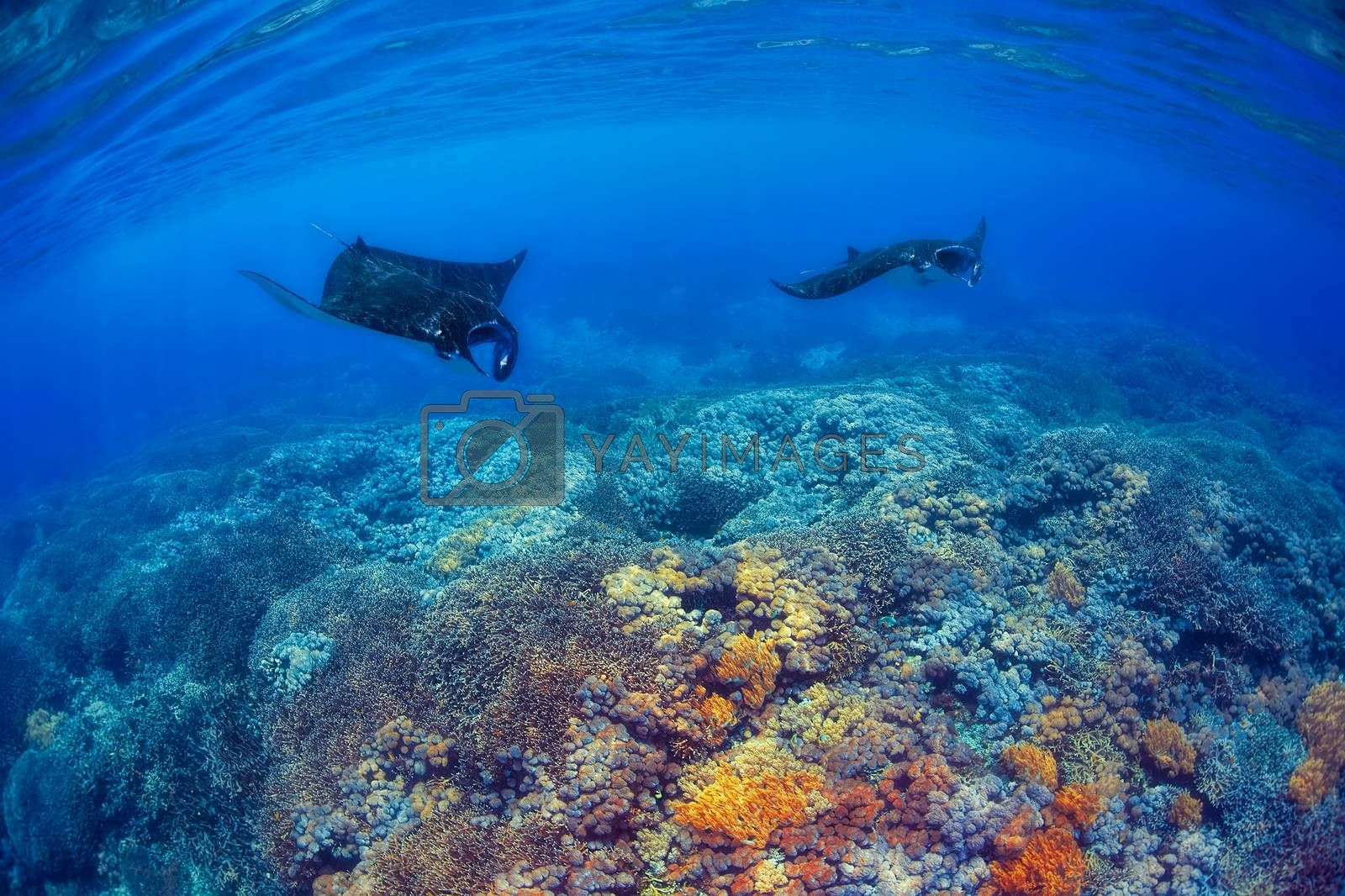 Manta rays filter feeding above a coral reef in the blue Komodo waters