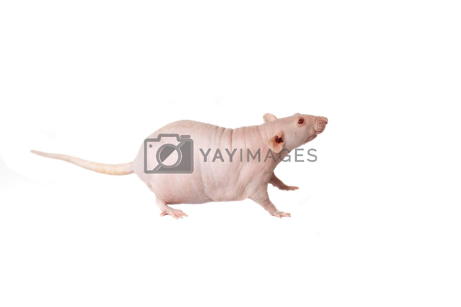 homemade rat on white background isolated