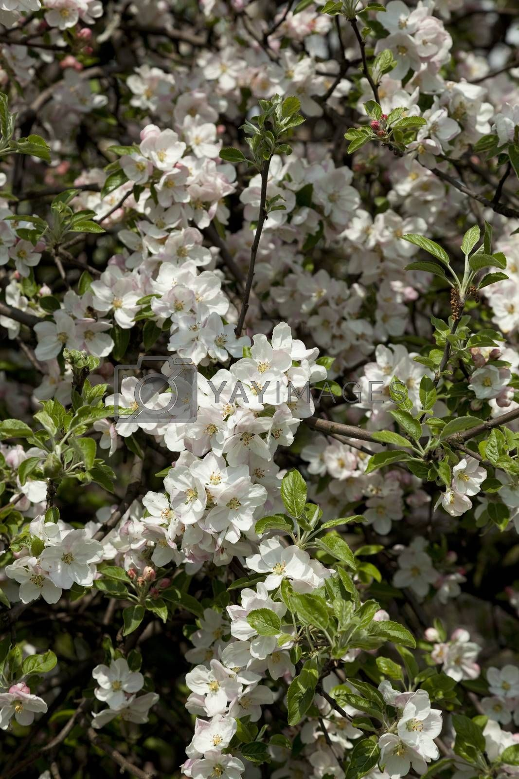 apple-tree blooming on spring as background