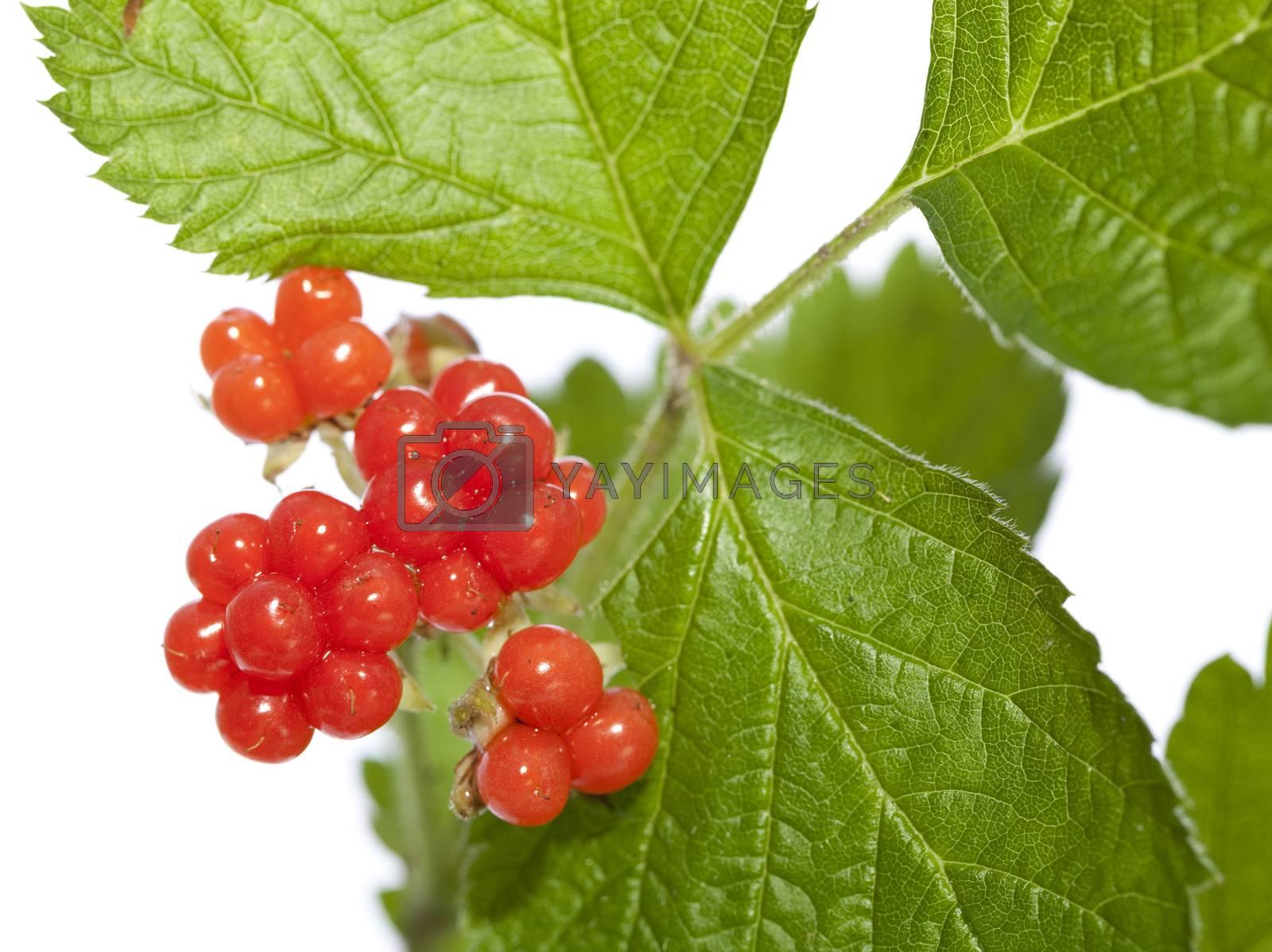 raspberries' ripe fruit on twig on white background