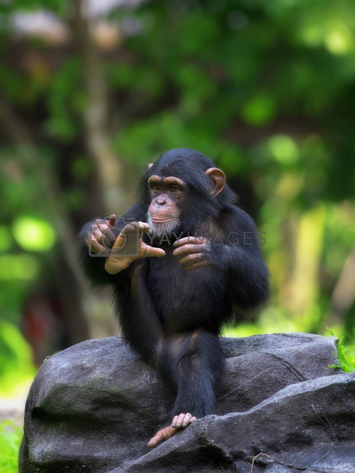 Common Chimpanzee by kjorgen
