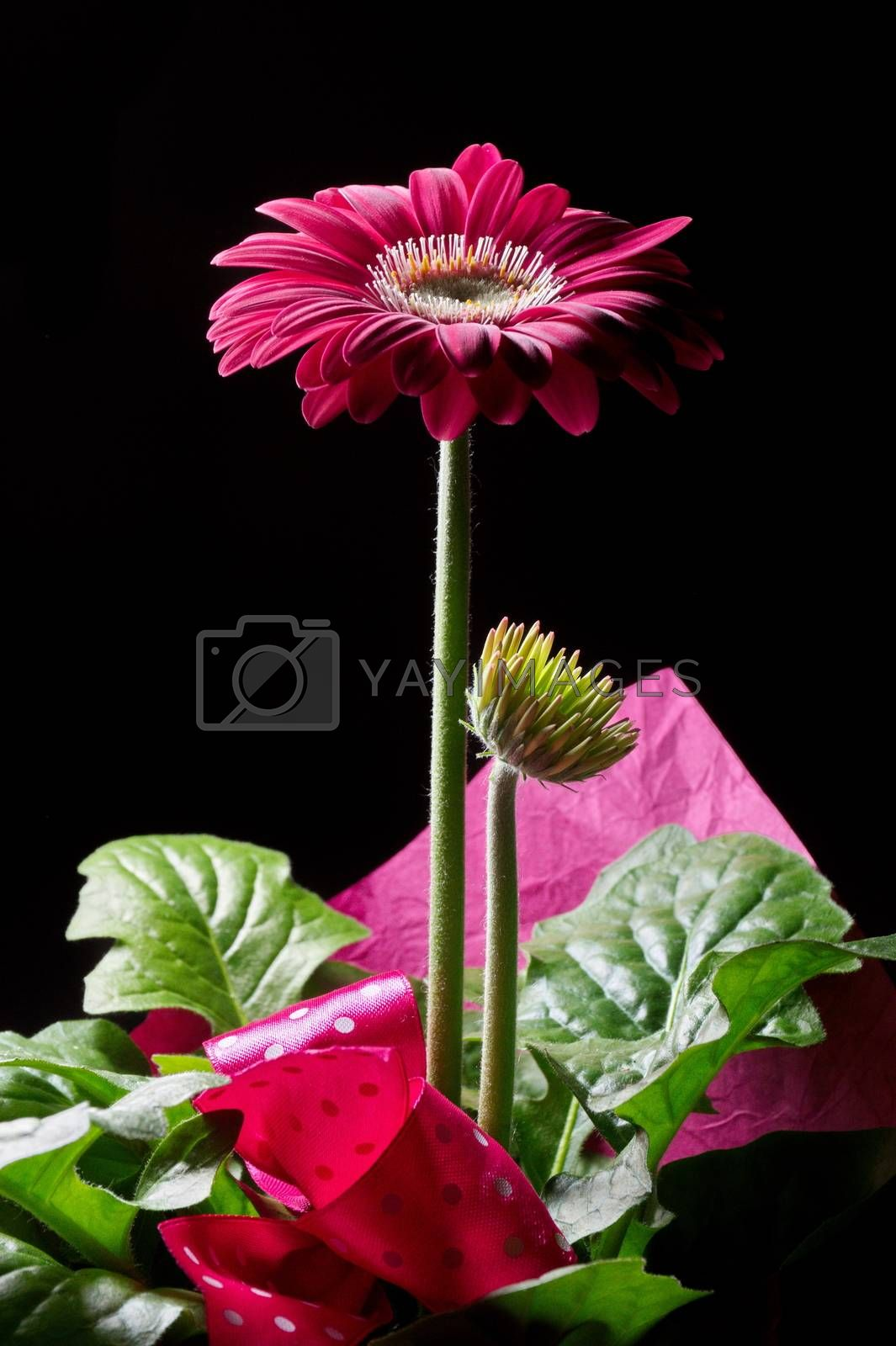 Purple gerbera flower