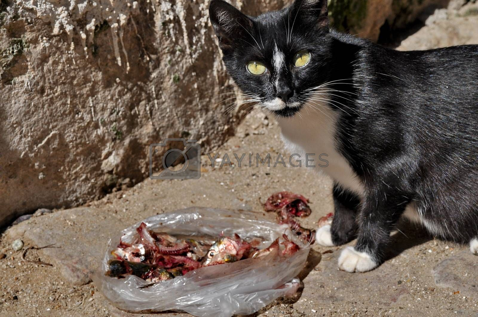 Cat eating meat on the street