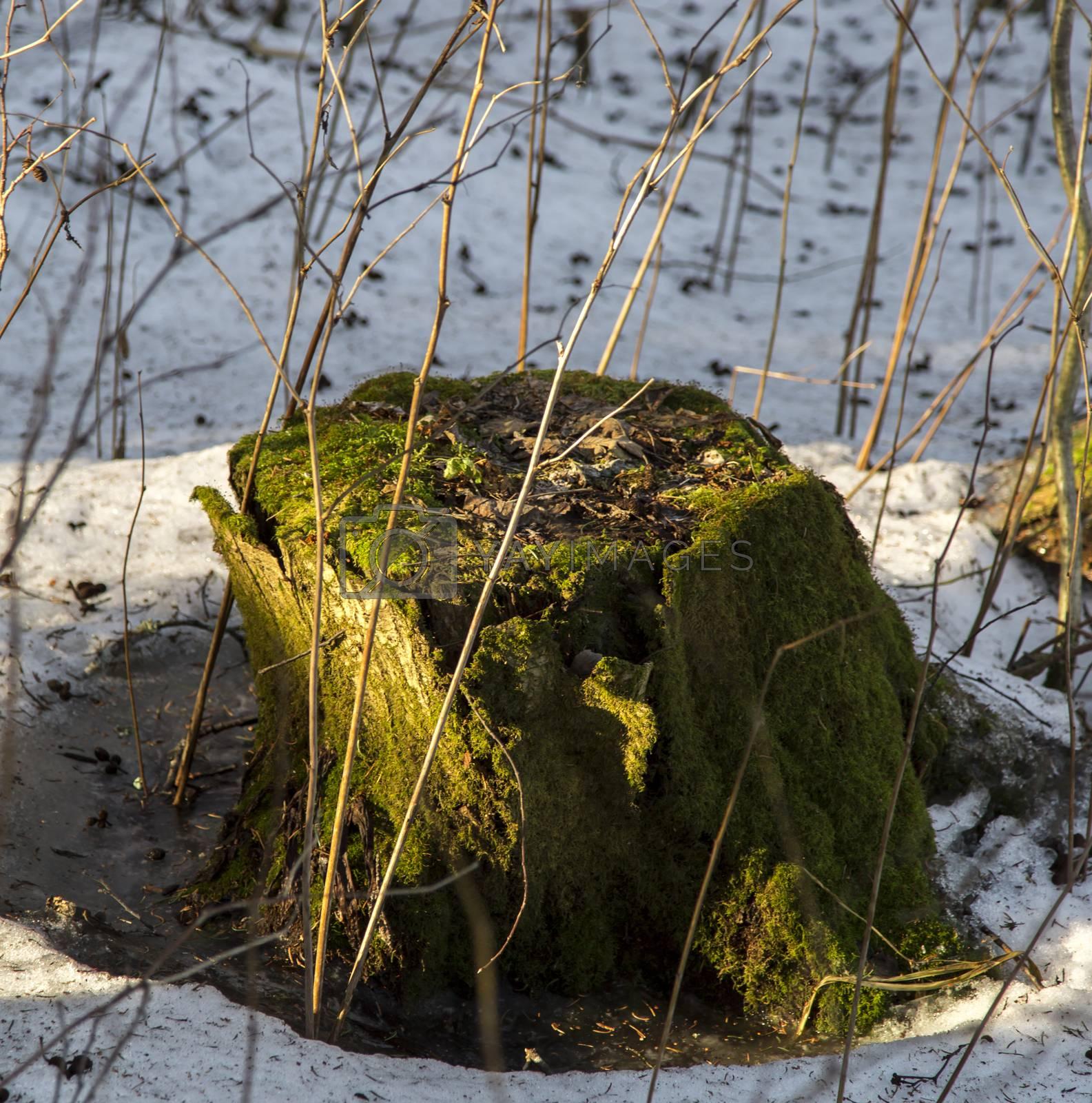 Mossy Stump with snow surrounding it.