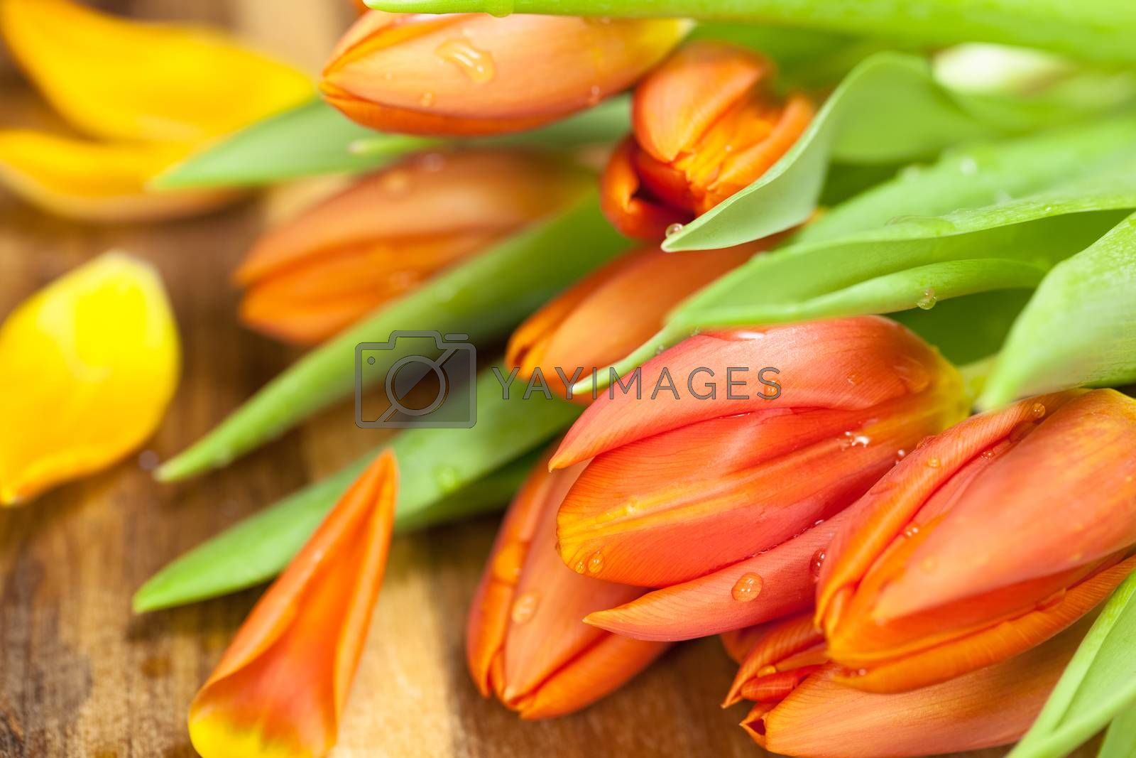Orange tulips on wooden background with petals. Shallow depth of field