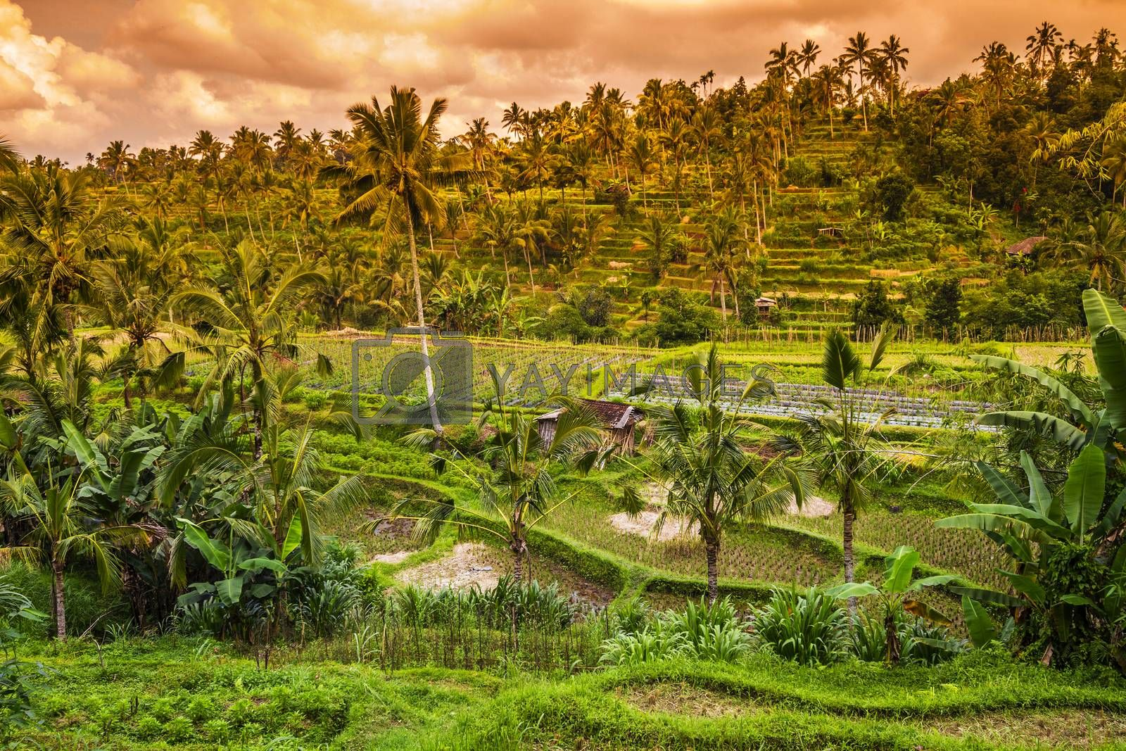 Beautiful Rice fields at Sunset Time Bali Indonesia