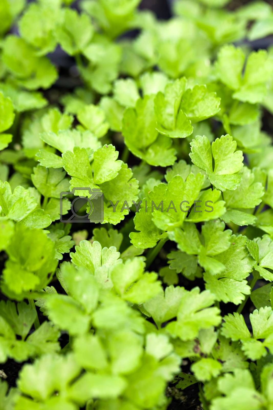 Close up of some young celery plants. Shallow depth of field.