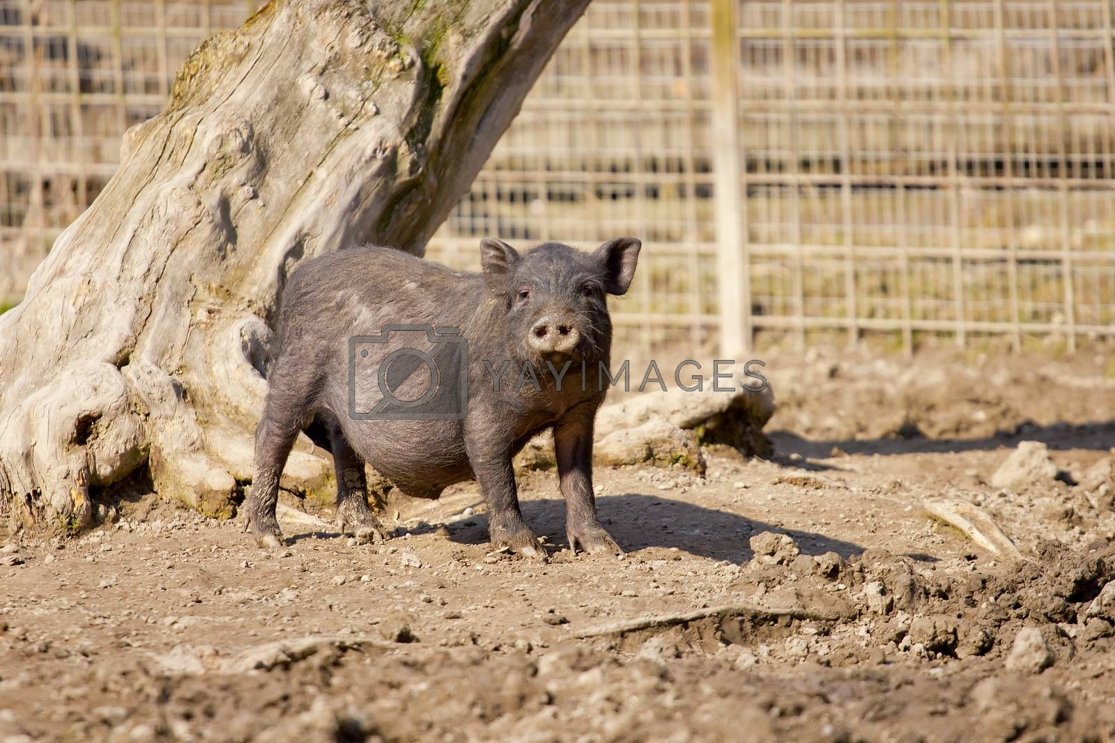 Young wild boar looking nosy
