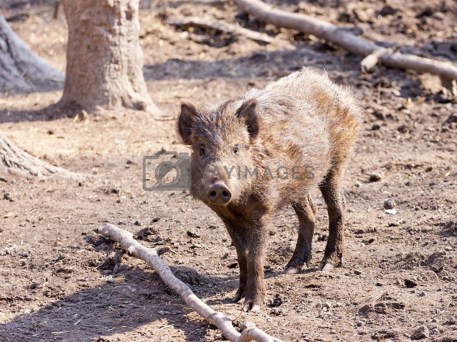 Wild swine playing in the wood