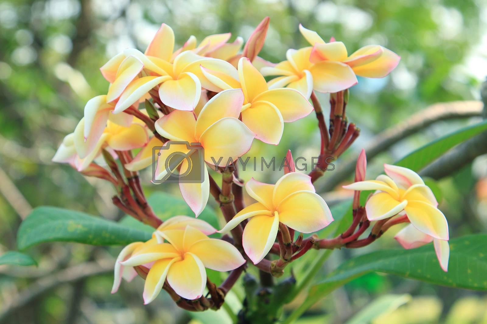 Tropical flowers frangipani (plumeria)