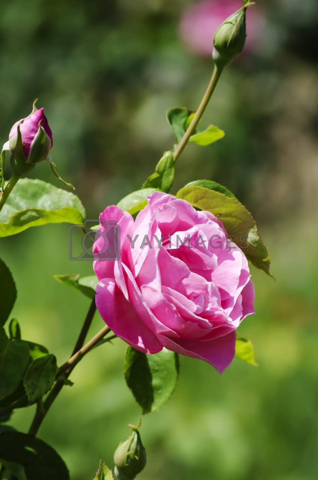 Single Rose Flower Over Natural Green Background