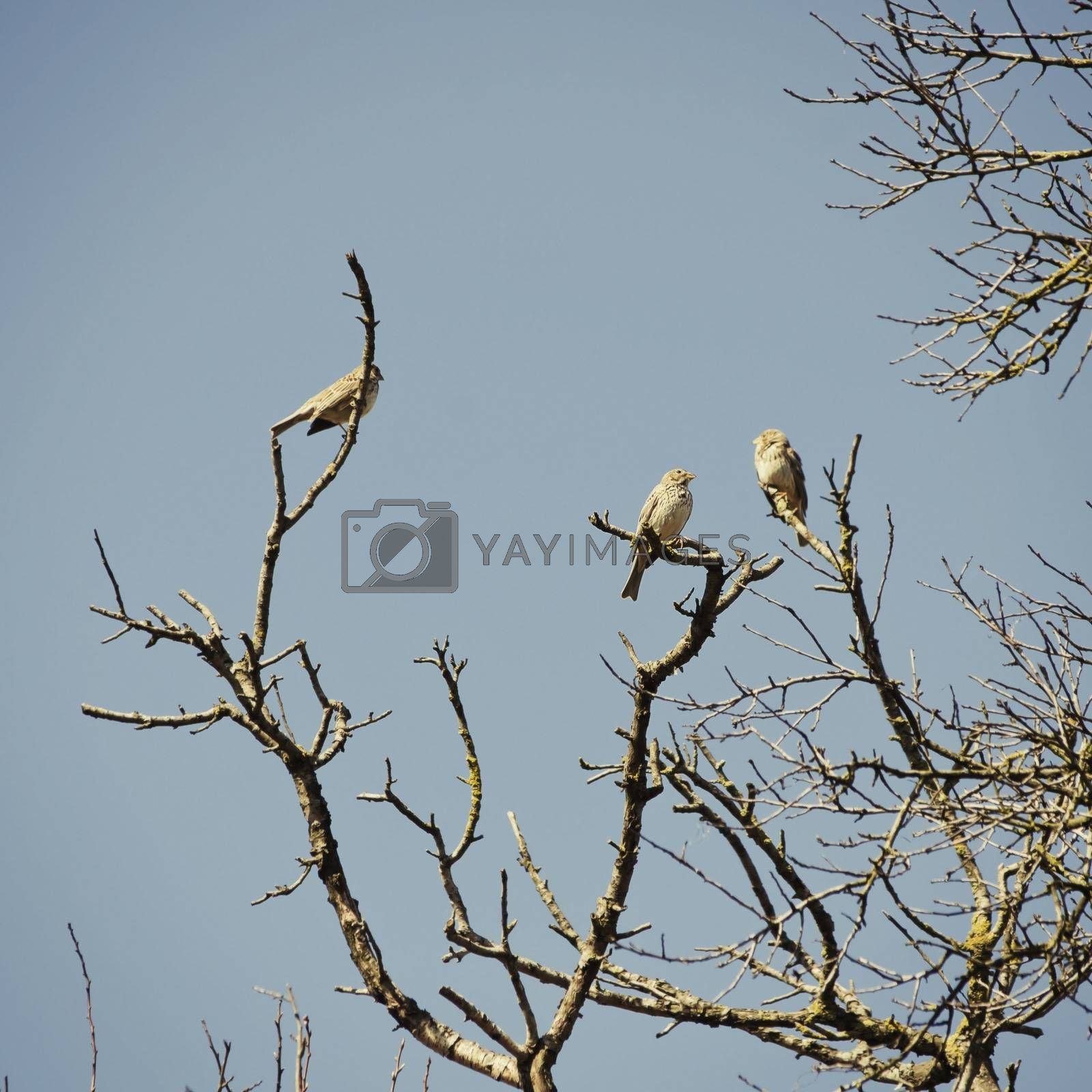 Three Birds at Tree in Springtime Over Blue Sky