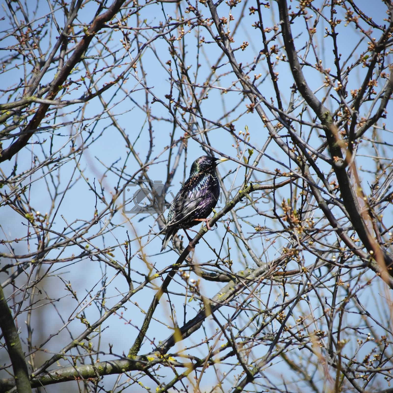 Single Starling at Tree Branch, Springtime