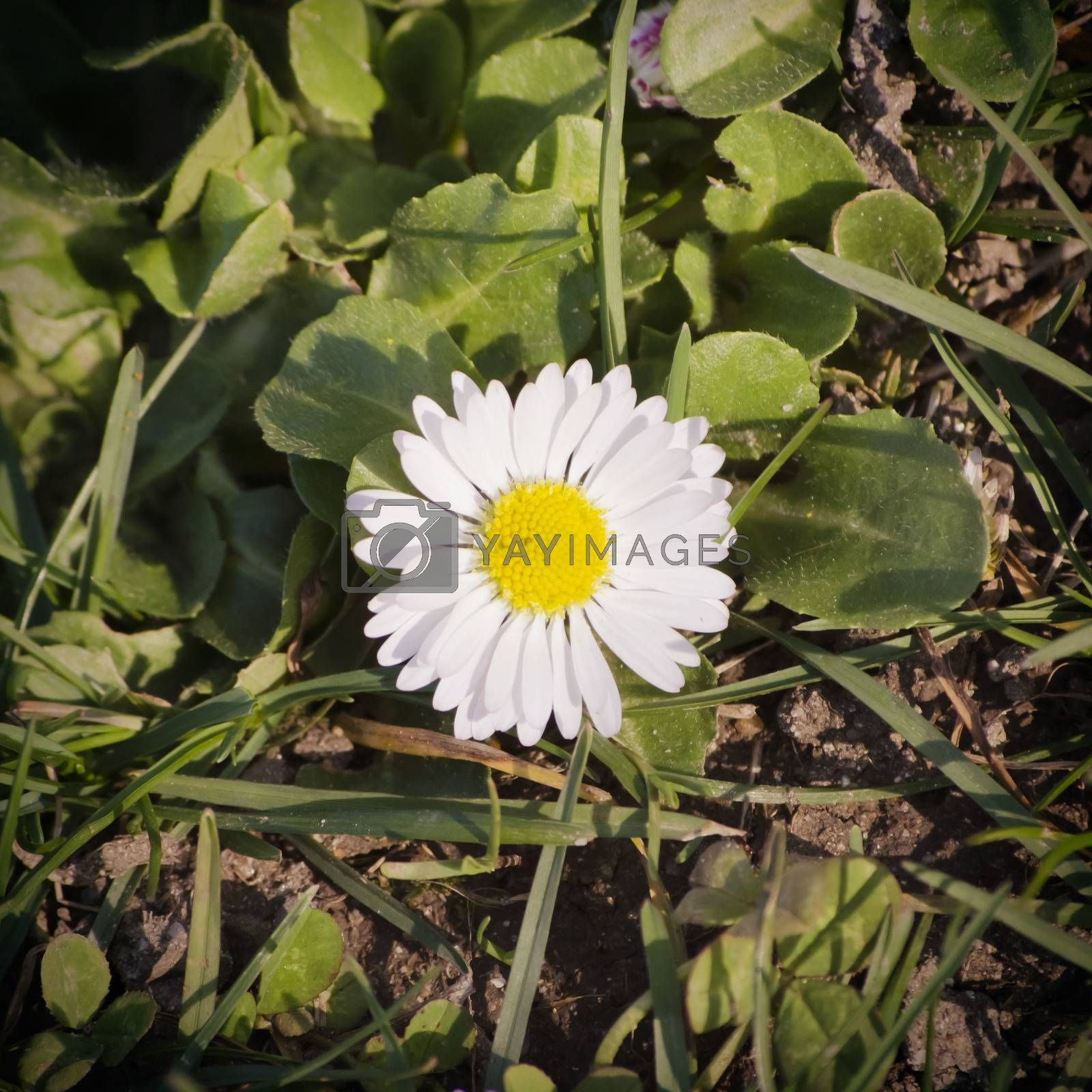 White Daisy Over Green Grass Background