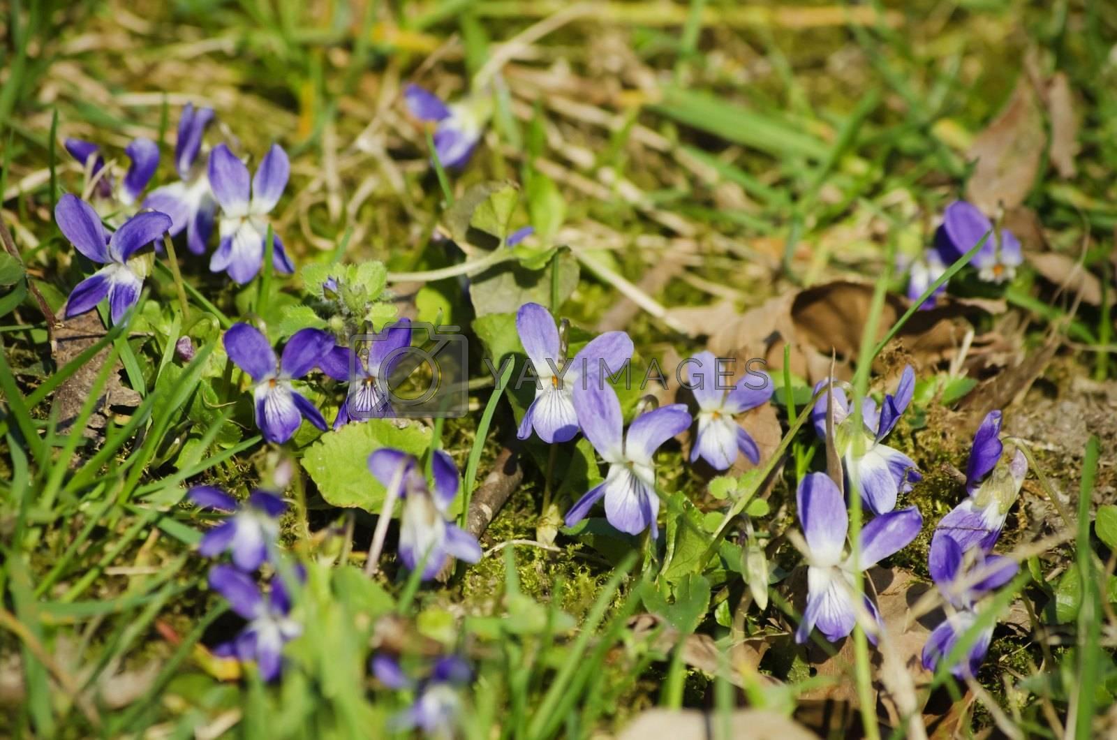 Wild Viola Flower Over Green Grass