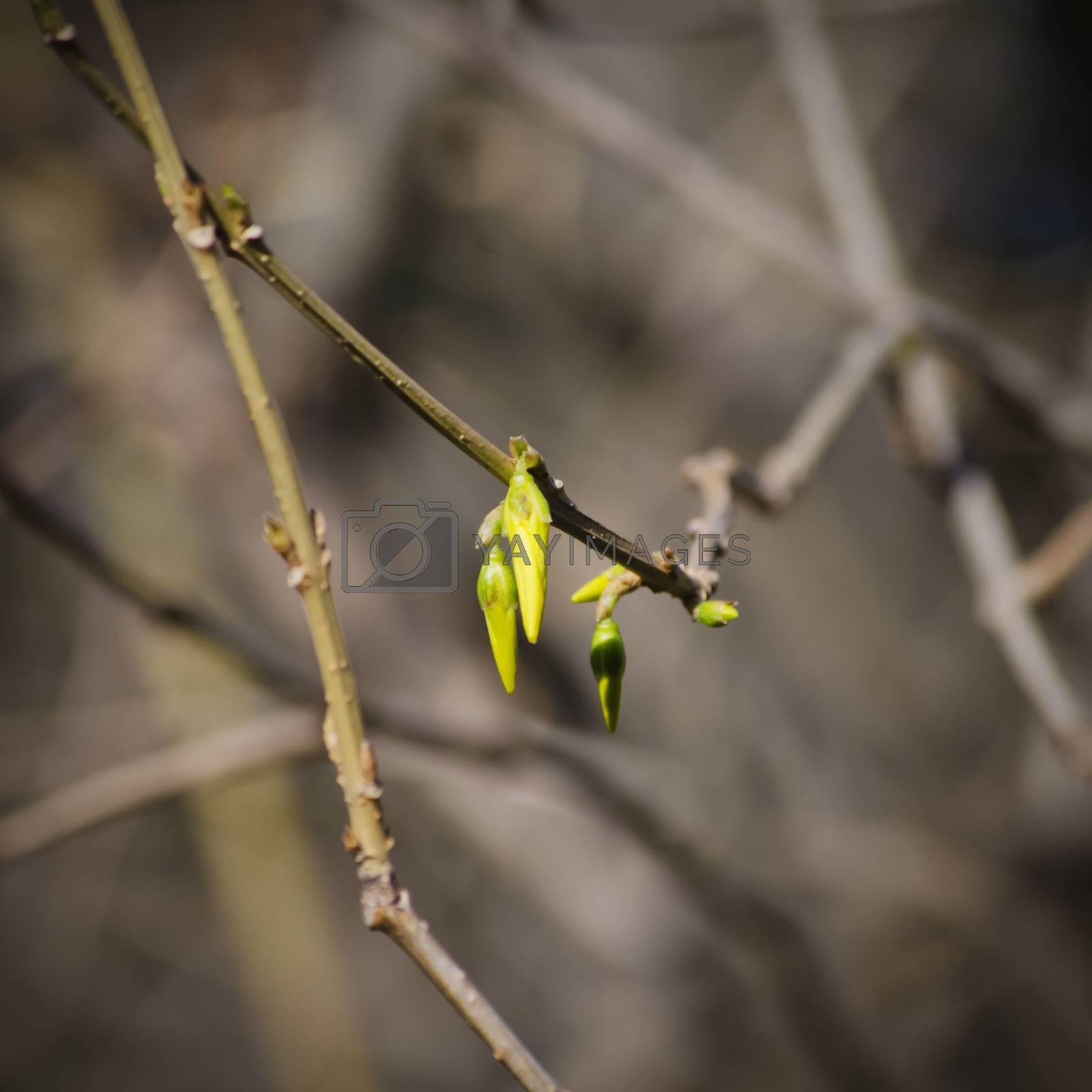 Forsythia Flower Spring Blossom