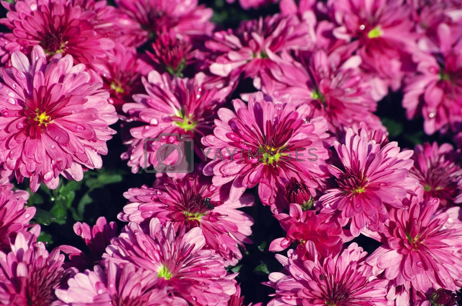 Photo of the Chrysanthemum Flower Background