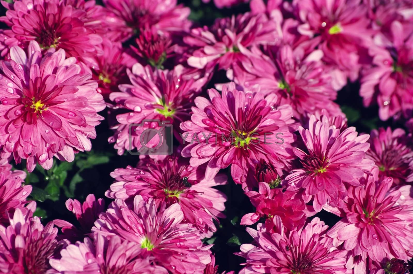 Chrysanthemum  by razvodovska