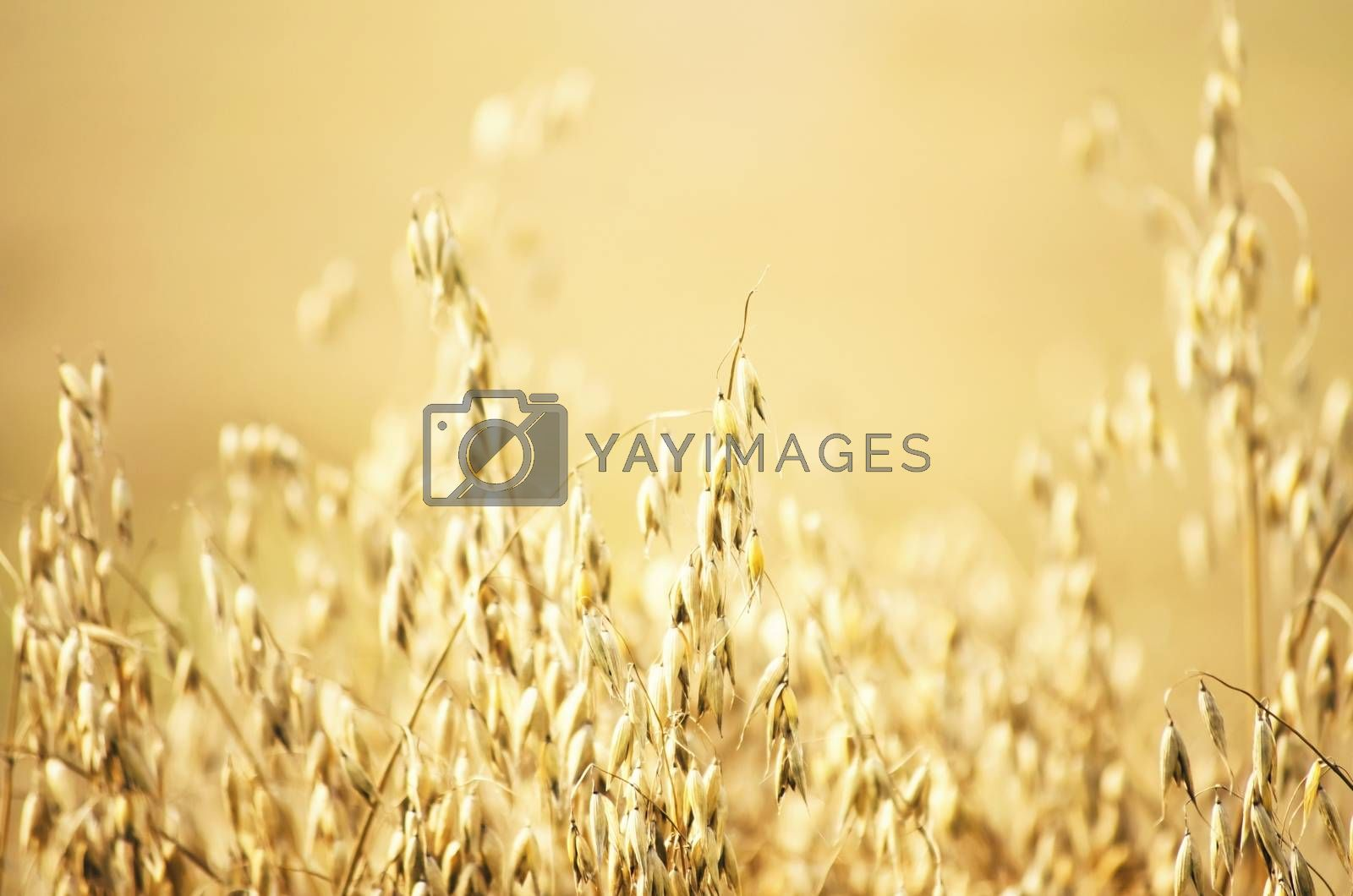 Oat Field Background by razvodovska