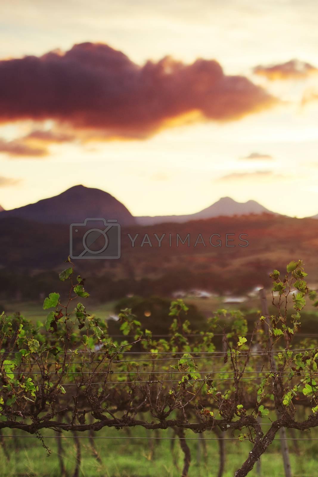 Lavender farm and vineyard in Kooroomba, Queensland in the afternoon.