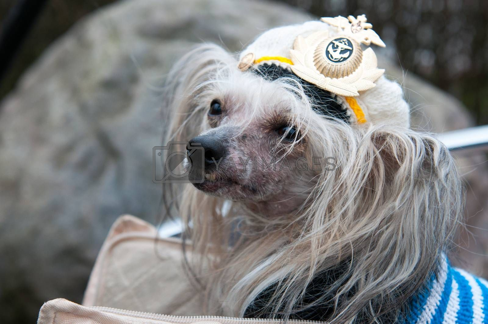 Groomed Chinese Crested Dog  - Powderpuff, three years month old.