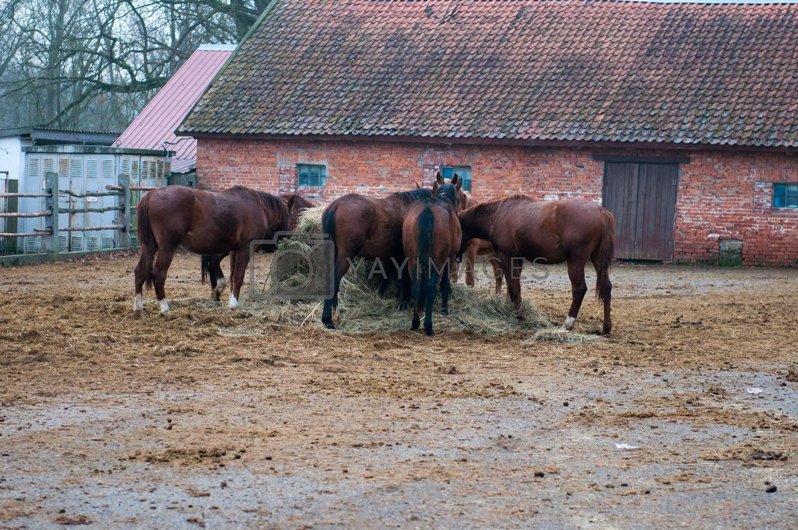 Thoroughbred horse at a walk. Ranch in Chernyakhovsk. Kaliningrad region.
