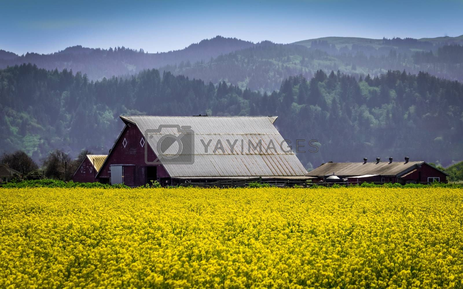 Mustard flowers and an old barn.