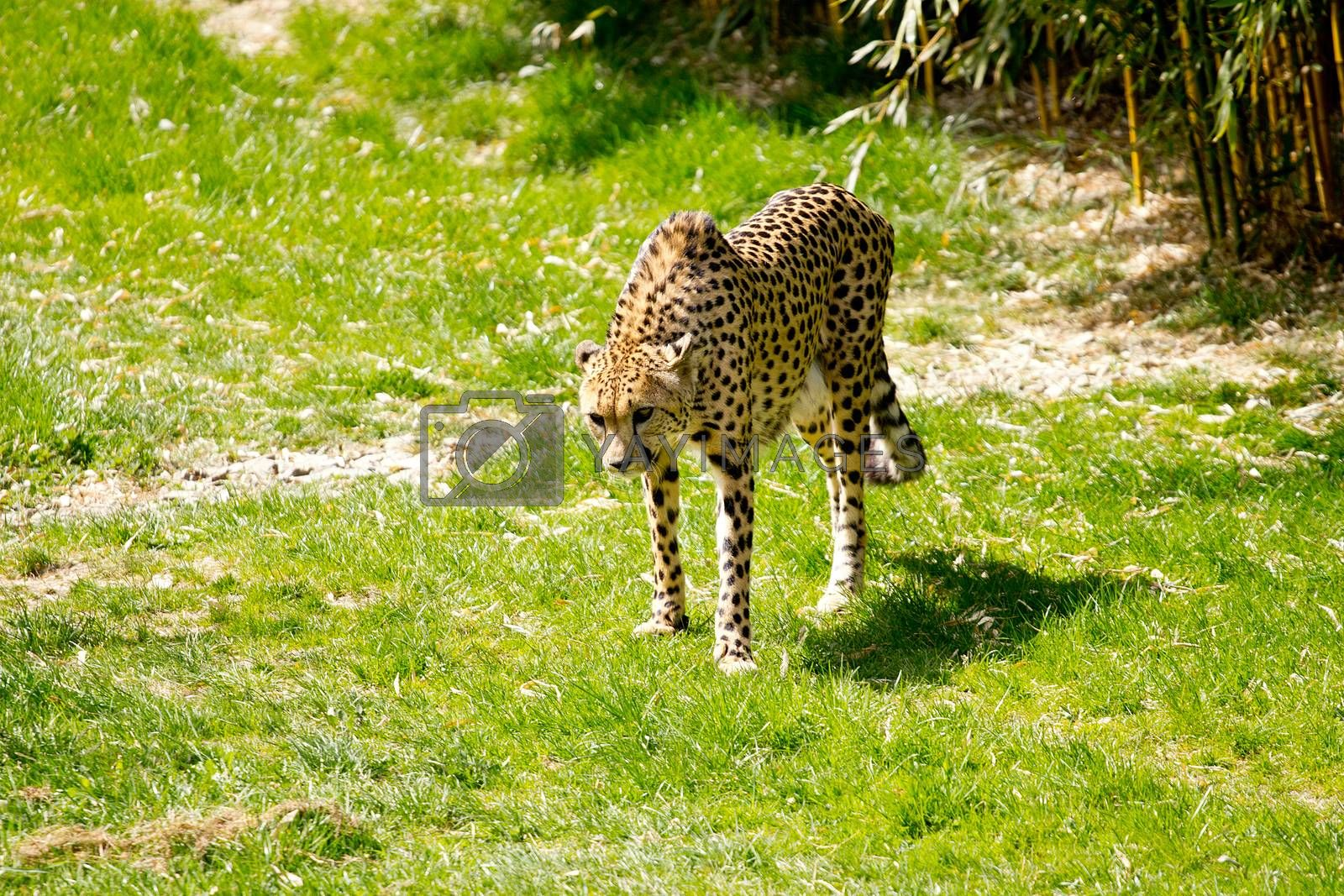 Cheetah hungry for meat