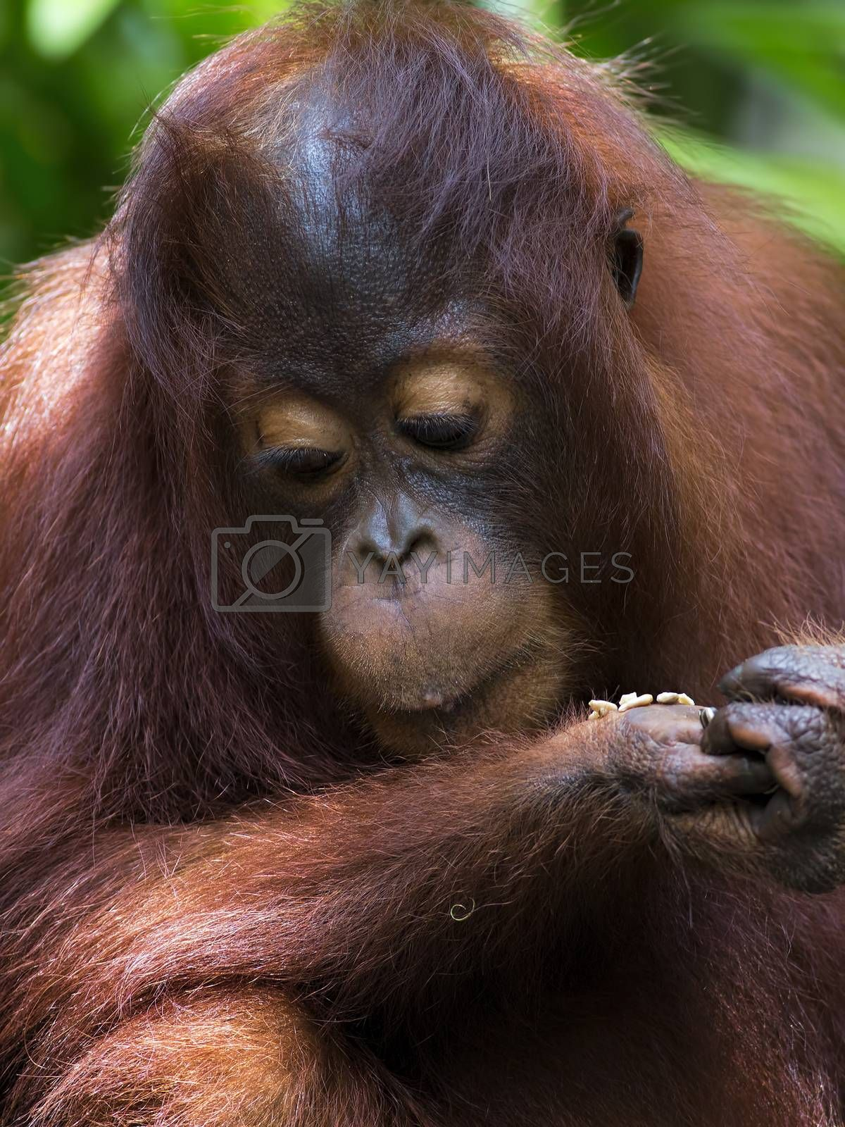 Borneo Orangutan by kjorgen