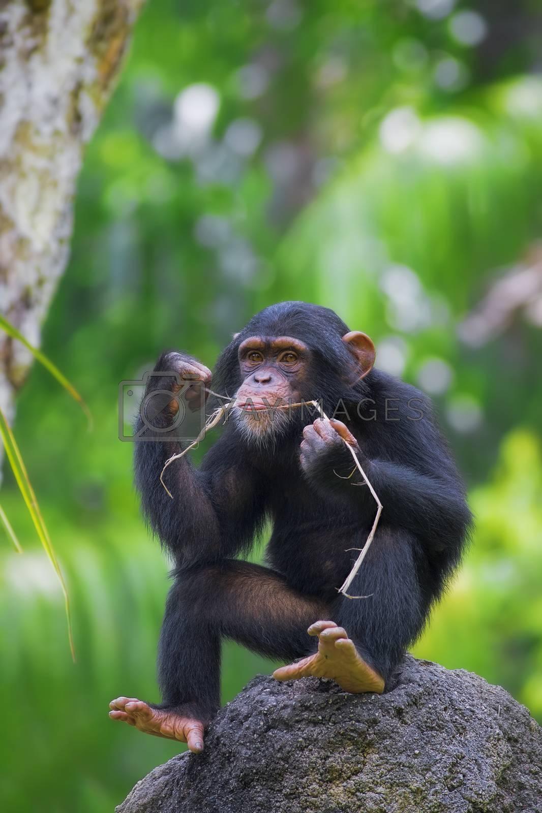 Common Chimpanzee by kjorgen