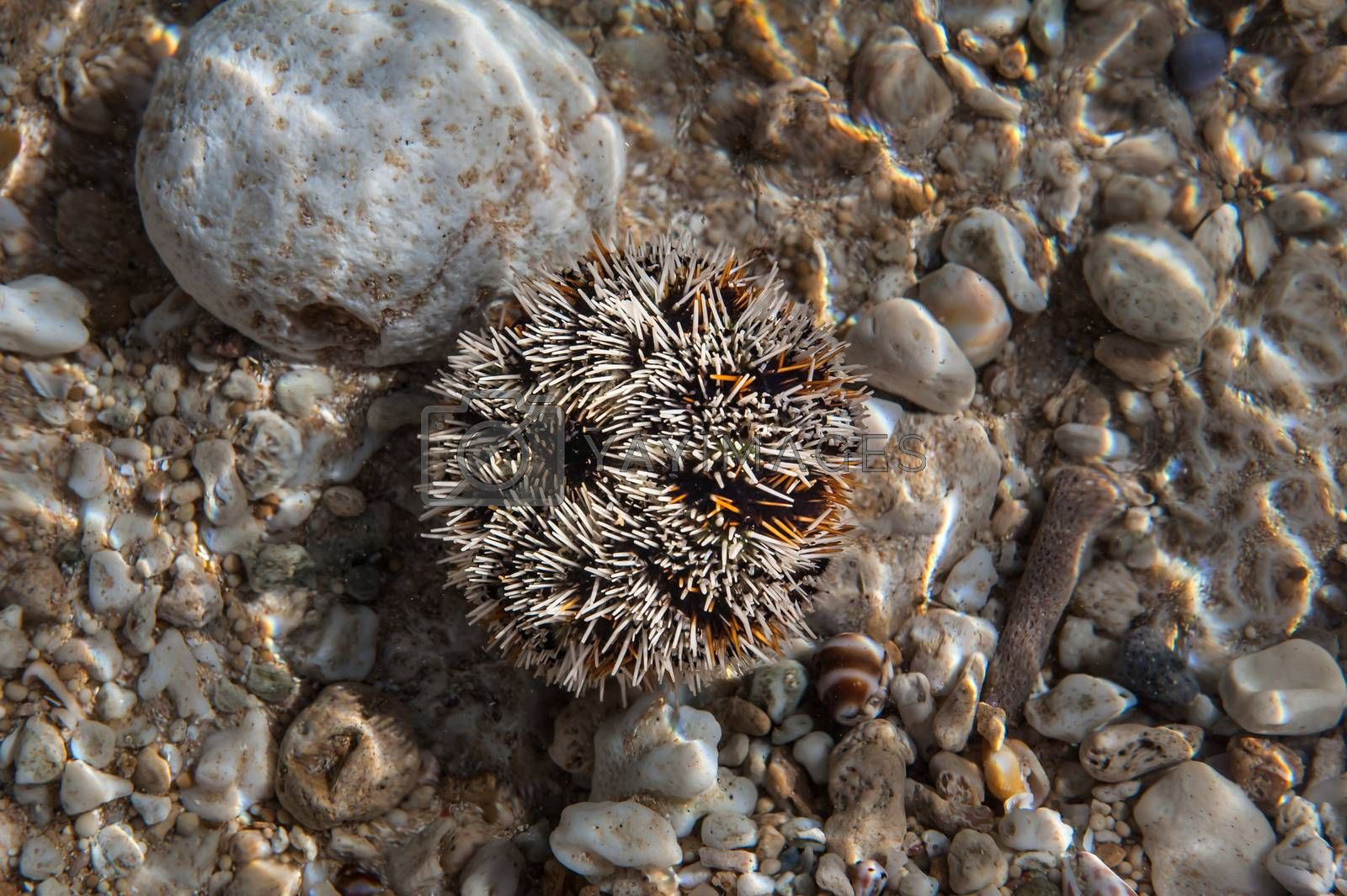 Sea urchin with his needles being ready to defend. White and yellow colored, lying on the stone, under water.