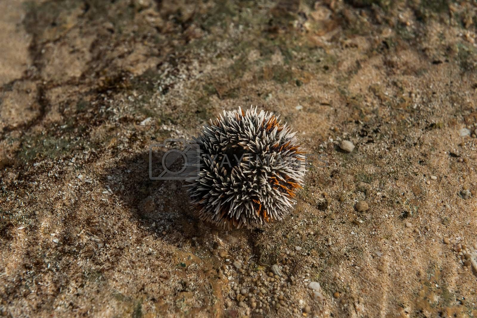 Sea urchin with his needles being ready to defend. White and yellow colored, lying on the stone, out of water.