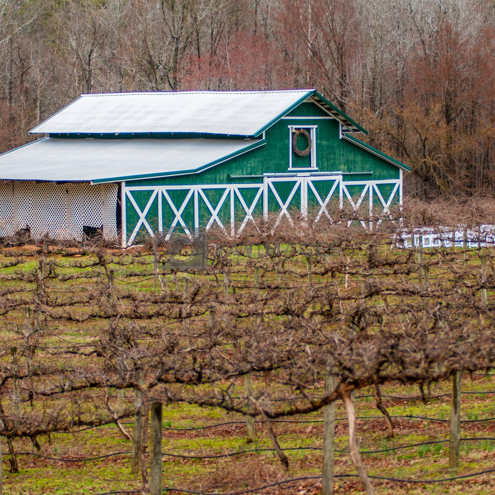 old vineyard in spring before season