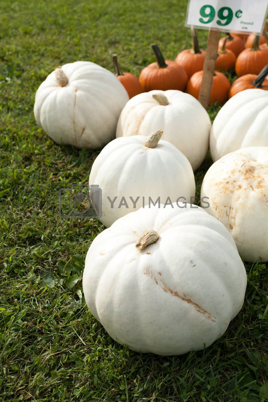 White pumpkins picked and sitting in the grass next to some traditional orange ones. Shallow depth of field.