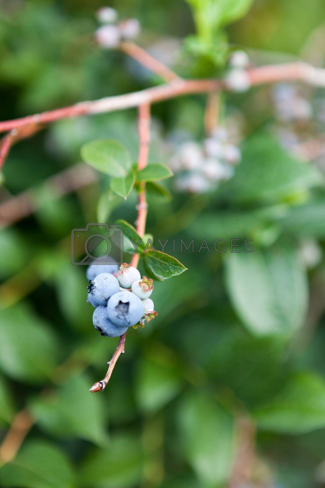 Close up of some blueberries that are ripe straight from the bush.