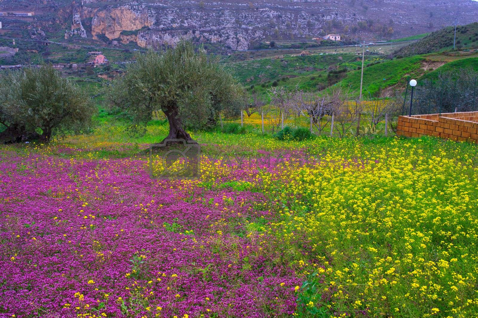 View of Sicilian countryside in the spring season, Olive trees and colorful flowers