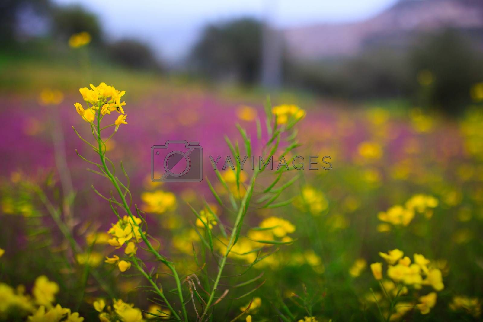 Flowers in the spring, Sicilian countryside