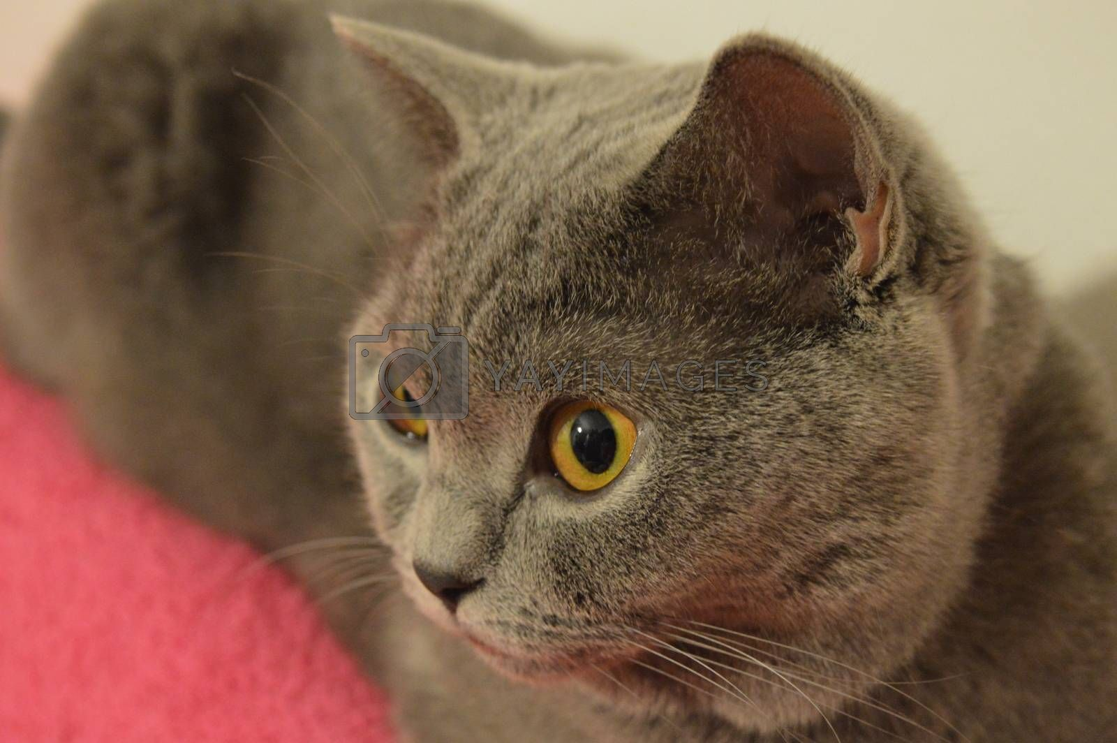 Portrait of young short-haired British gray cat with yellow eyes