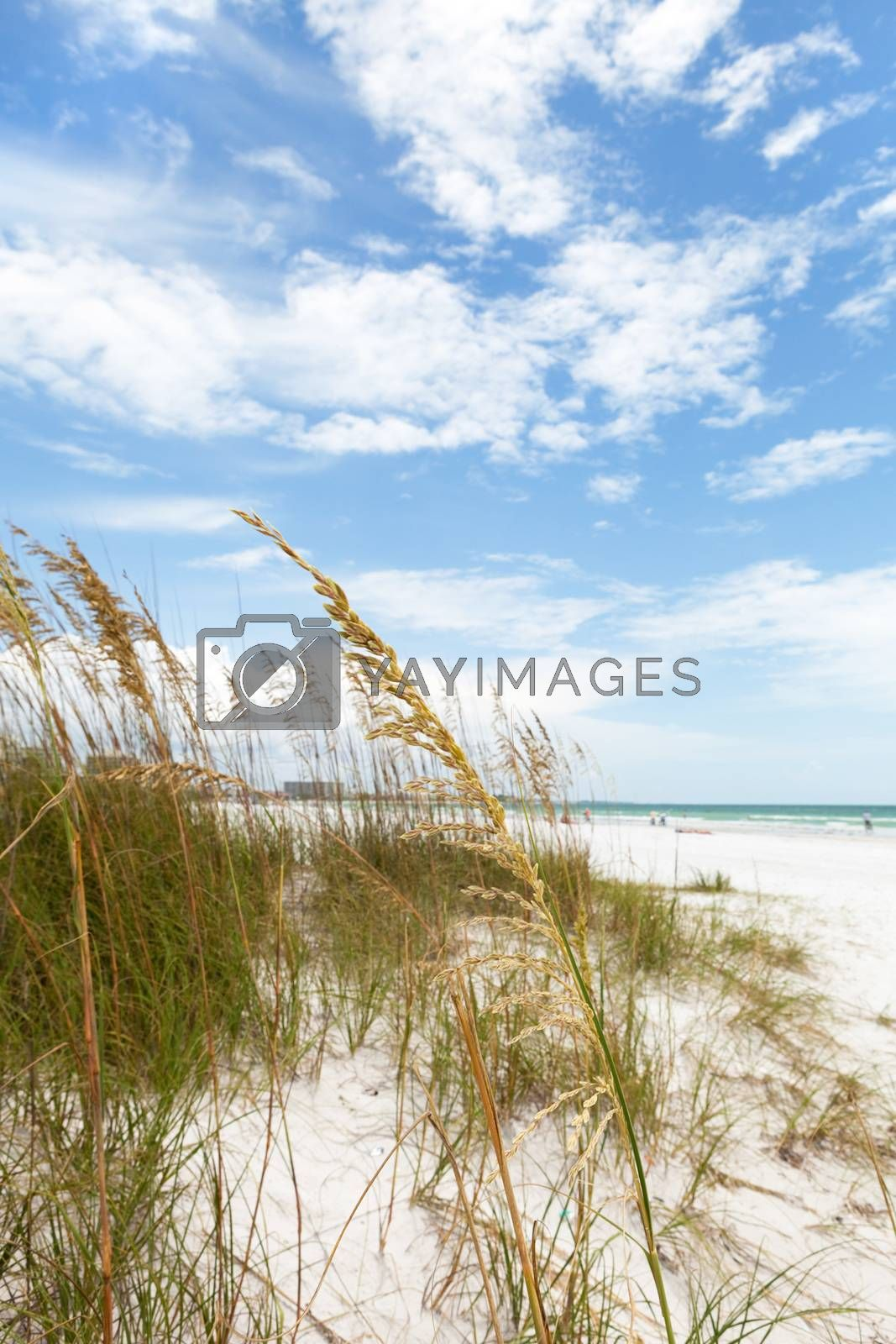 Siesta Key Beach is located on the gulf coast of Sarasota Florida with powdery sand. Shallow depth of field with focus on the grasses.
