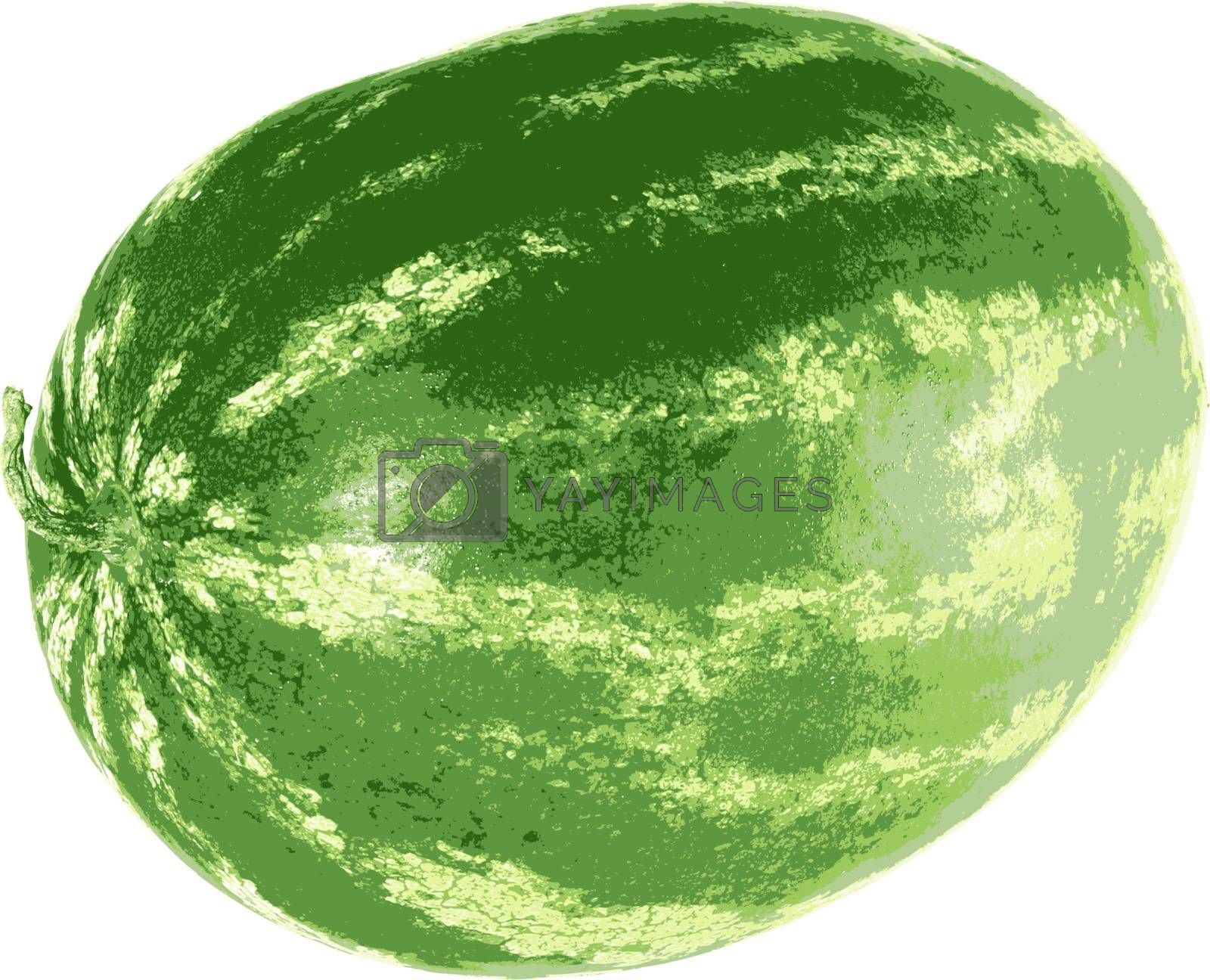 Ripe watermelon isolated on white background. Vector illustration.
